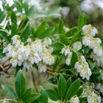 Pieris japonica - Japanese Pieris