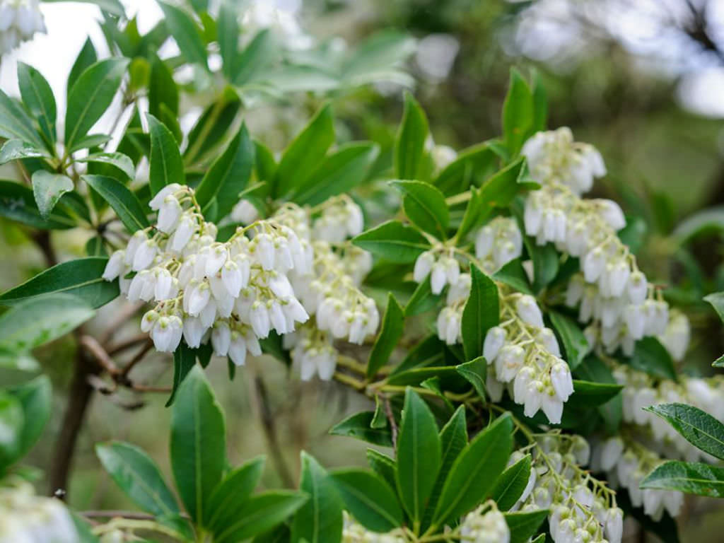 Pieris Japonica Japanese Pieris World Of Flowering Plants