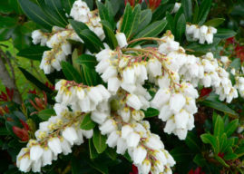 How to Grow and Care for a Lily of the Valley Bush
