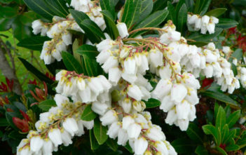 Pieris japonica (Lily of the Valley Bush)