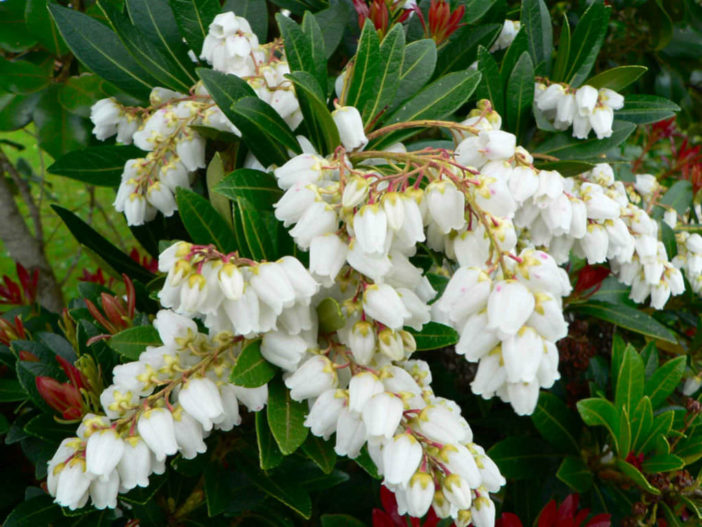 Pieris japonica Care