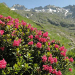 Rhododendron ferrugineum - Alpenrose