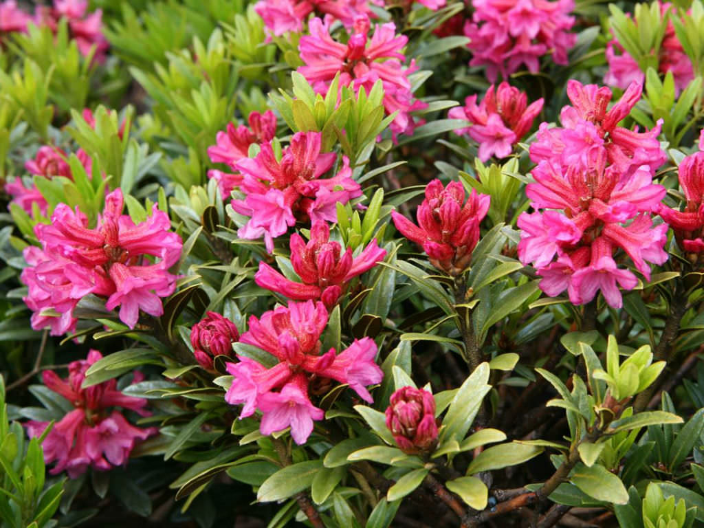 Rhododendron ferrugineum - Alpenrose | World of Flowering ...