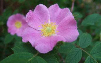Rosa acicularis - Prickly Wild Rose