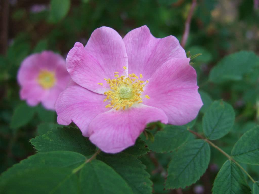 rosa acicularis prickly wild rose world of flowering plants. Black Bedroom Furniture Sets. Home Design Ideas