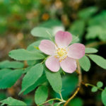 Rosa acicularis - Prickly Wild Rose