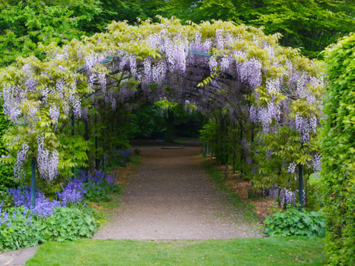 How To Grow And Care For Wisteria World Of Flowering Plants