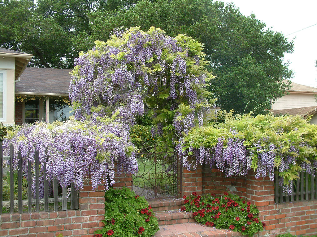 Wisteria sinensis chinese wisteria world of flowering for The wisteria