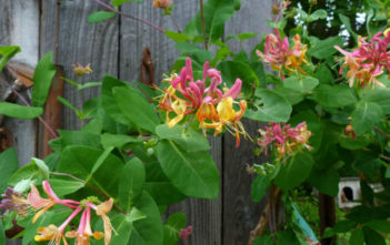 Growing Honeysuckle Vine