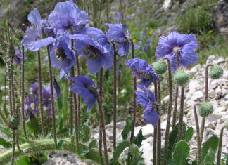 Meconopsis horridula - Prickly Blue Poppy