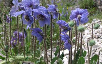 Meconopsis horridula - Prickly Blue Poppy