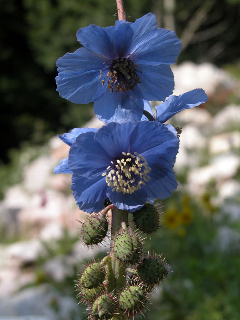 Meconopsis Horridula Prickly Blue Poppy World Of Flowering Plants