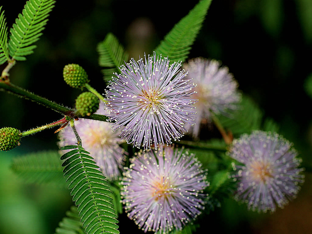 Mimosa Pudica Sensitive Plant