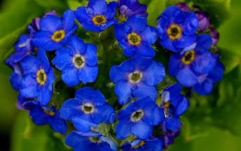 Myosotis azorica - Azorean Forget-me-not