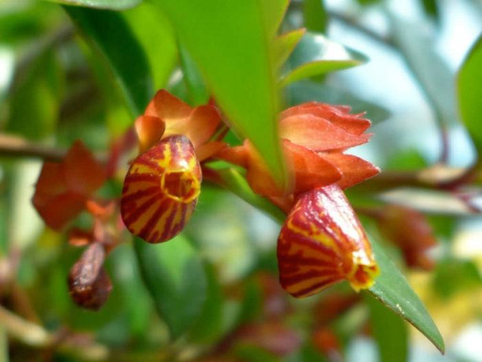 Nematanthus 'Tropicana' - Goldfish Plant