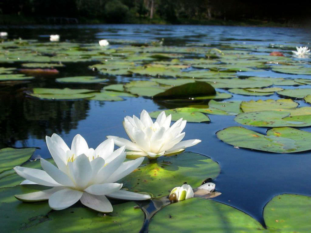 so cute | Water lilies, White lotus flower, Longwood gardens