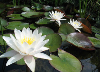 Nymphaea alba - European White Water Lily