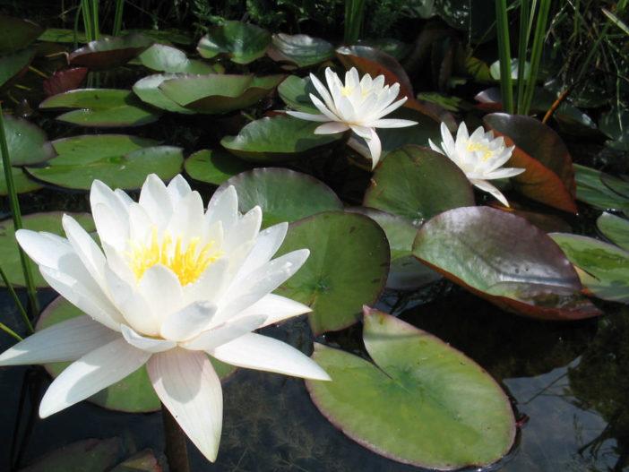 Nymphaea alba - European White Water Lily