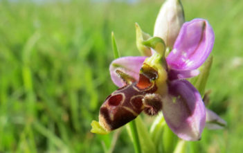 Ophrys scolopax - Woodcock Bee-orchid