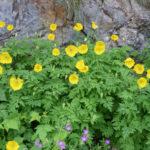 Papaver cambricum - Welsh Poppy