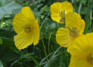 Papaver cambricum - Welsh Poppy