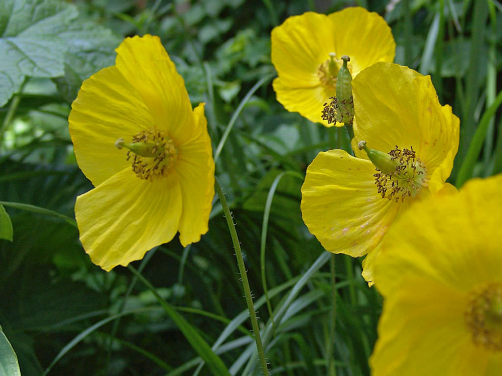 Papaver cambricum (Welsh Poppy) | World of Flowering Plants