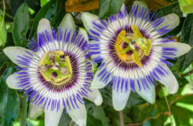 Passiflora caerulea - Blue Passion Flower