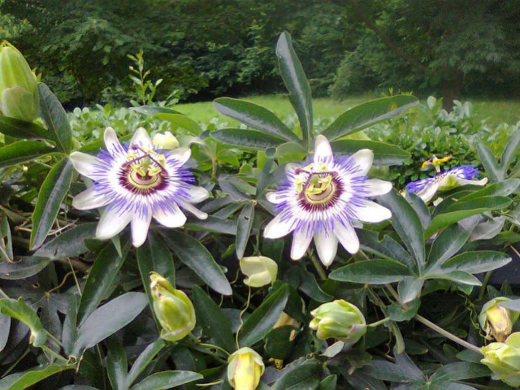 passiflora caerulea blue passion flower world of flowering plants. Black Bedroom Furniture Sets. Home Design Ideas