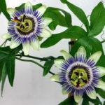Passiflora caerulea - Blue Passion Flower