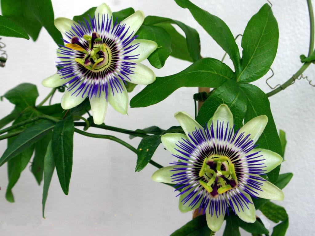 Passiflora Caerulea Blue Passion Flower World Of Flowering Plants