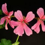 Pelargonium peltatum - Ivy-leaved Geranium