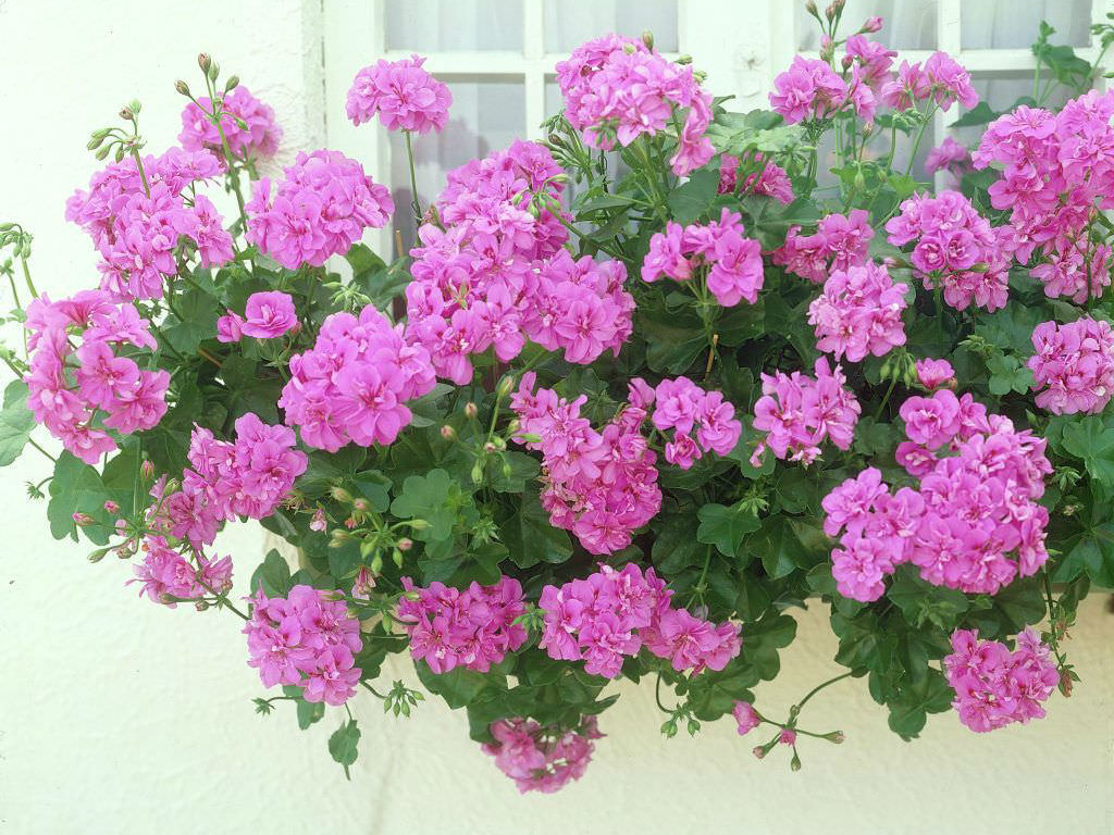 Pelargonium peltatum ivy leaved geranium world of flowering plants - How to care for ivy geranium ...