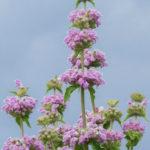 Phlomis cashmeriana - Kashmir Sage