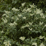 Pieris floribunda - Mountain Fetterbush4