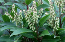 Pieris floribunda - Mountain Fetterbush
