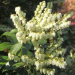 Pieris floribunda - Mountain Fetterbush4