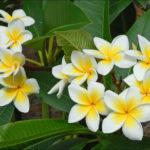 Plumeria rubra - Frangipani