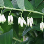 Polygonatum multiflorum - Solomon's Seal