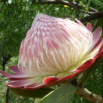 Protea caffra - Sugar Bush