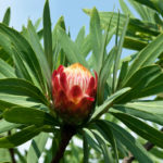 Protea caffra - Sugar Bush
