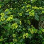 Psychotria capensis - Black Bird Berry