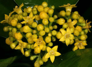 Psychotria capensis - Black Bird Berry