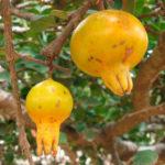 Punica protopunica - Socotran Pomegranate