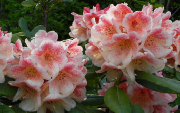 Rhododendron 'Firelight'