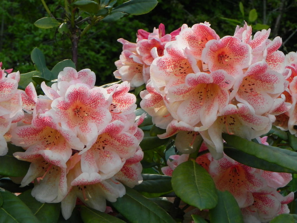 How to grow and care for rhododendron world of flowering for How to care for rhododendrons after blooming