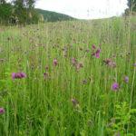 Cirsium rivulare - Brook Thistle