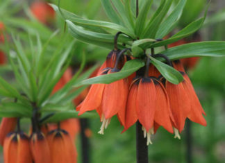 Fritillaria imperialis 'Rubra Maxima' - Crown Imperial