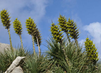 Puya chilensis - Sheep-eating Plant