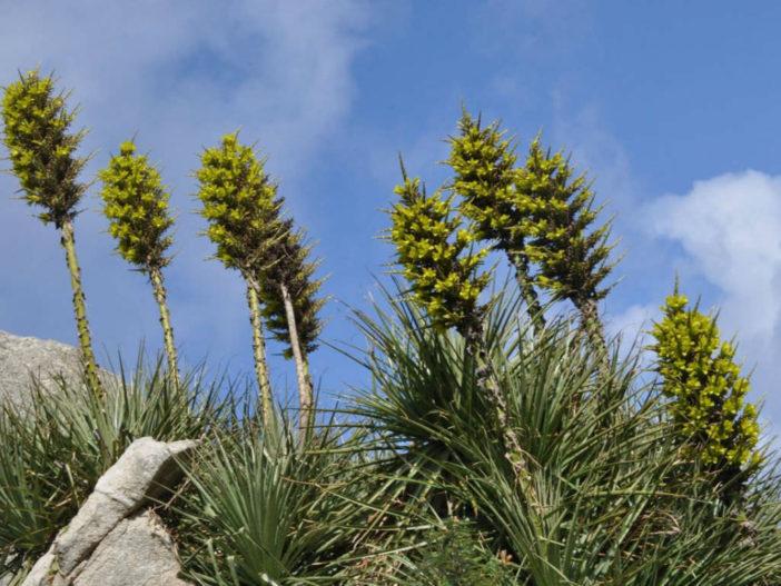 Puya chilensis - Sheep-eating Plant