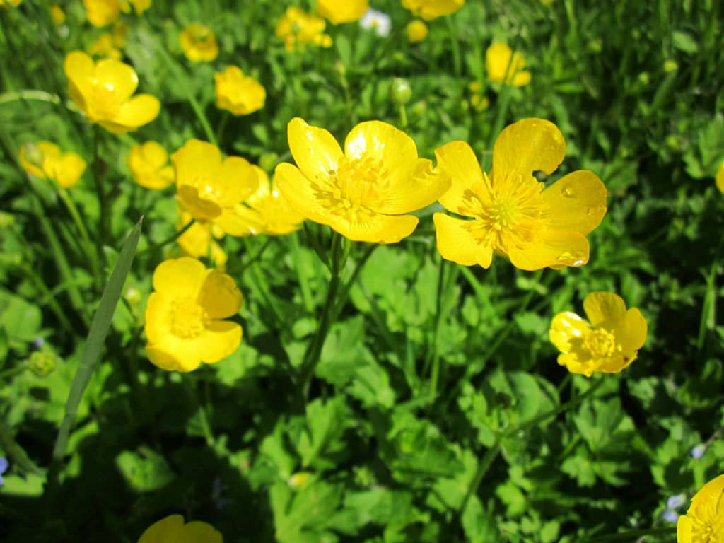 Ranunculus Acris Meadow Buttercup World Of Flowering